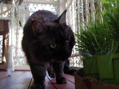 ベランダで猫草を食べるモコにゃん