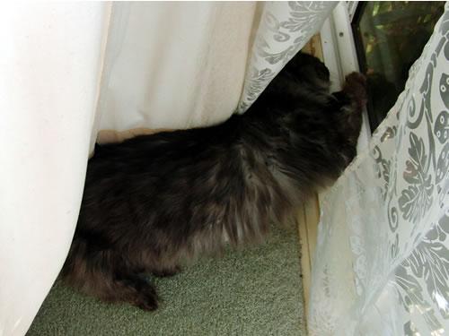 窓とカーテンの間で寝てるモコにゃん