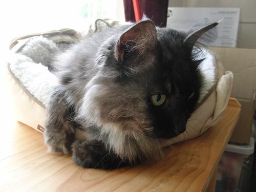 猫ベッドに入っているモコにゃん