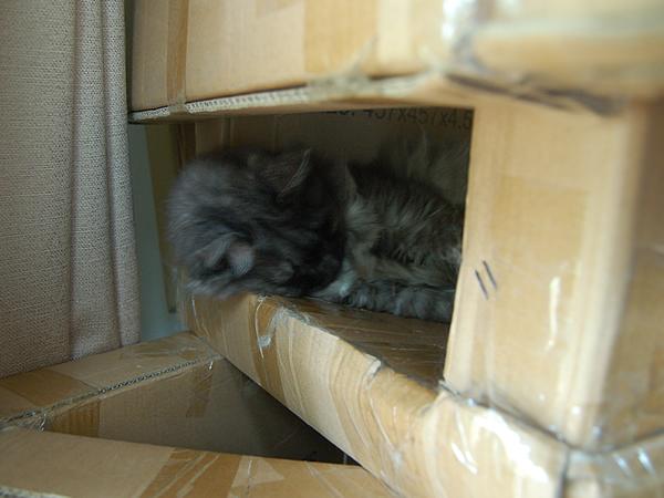朝食後に段ボールのキャットタワーの中でお昼寝をするモコにゃん
