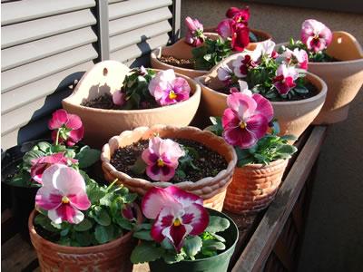日当たりのいいベランダはパンジーの花で賑やか
