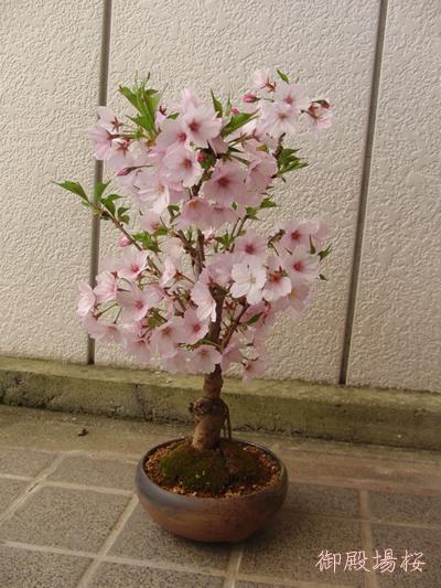 御殿場桜の盆栽