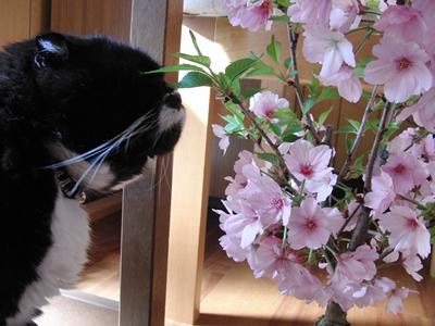 桜の盆栽の匂いをかぐクマにゃん