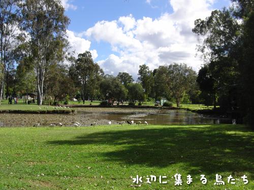 公園の水辺に集まる野鳥