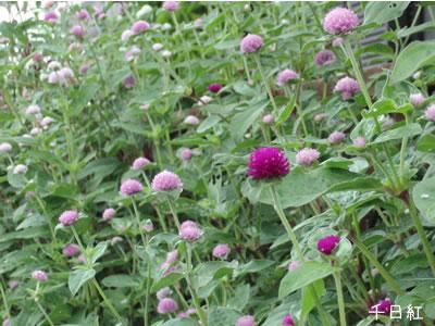 庭の千日紅の花
