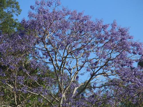 ジャカランダの木