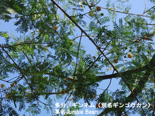 多分、ギンネムの木だと思う