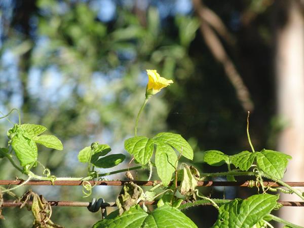 冬でも枯れずに花が咲いたゴーヤ