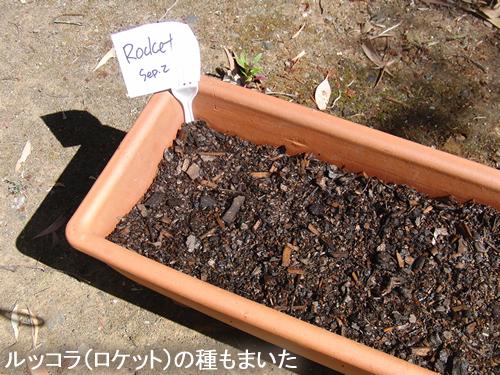 ルッコラ(ロケット)の種をまいた