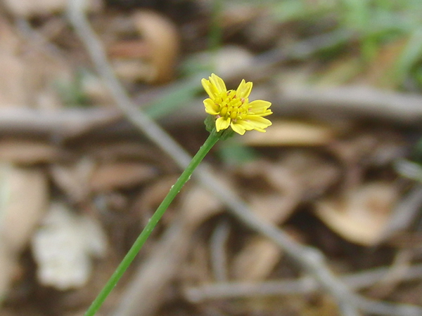 庭に生えてたかわいい黄色の花(名前不明)