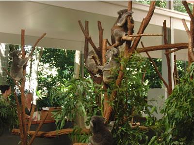 Lone Pine Koala Sanctuaryに行ってきました。写真はコアラ
