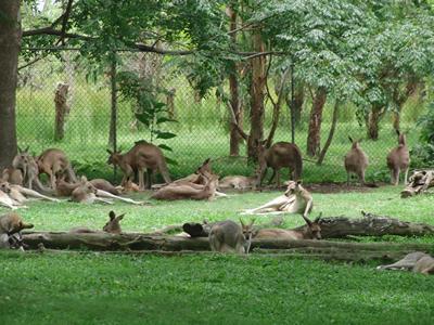 木陰で休むカンガルー