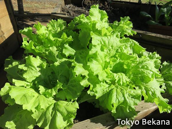 Japanese Leafy Vegetable Tokyo Bekana
