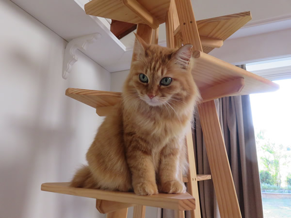 Mittan on the cat tree