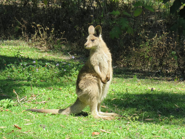 A young wallaby